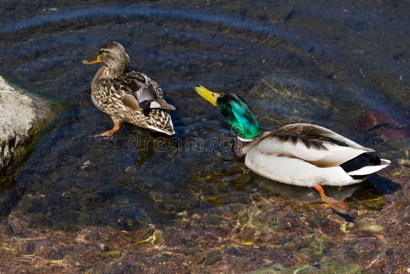 Το ζεύγος των όμορφων παπιών κολυμπά σε μια λίμνη στοκ φωτογραφία