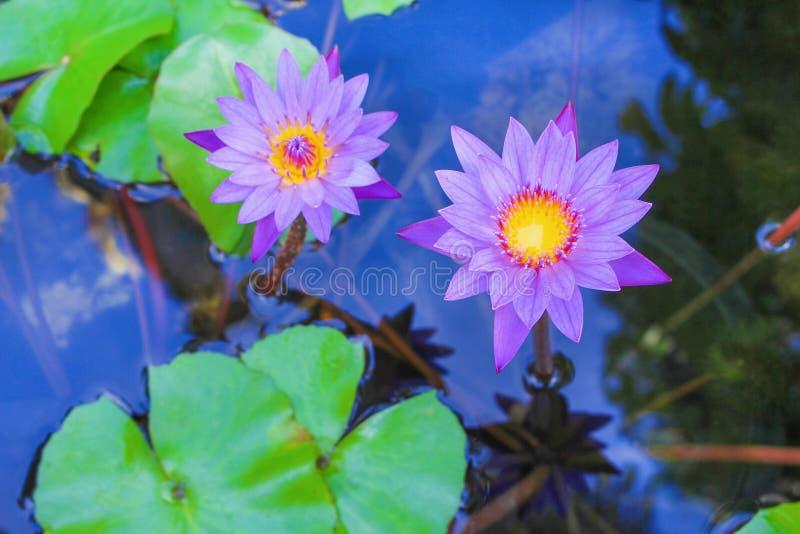 Το ζωηρόχρωμο πορφυρό λουλούδι λωτού δύο που ανθίζει με βγάζει φύλλα στο νερό και την αντανάκλαση από το μπλε ουρανό και το δέντρ στοκ φωτογραφία με δικαίωμα ελεύθερης χρήσης