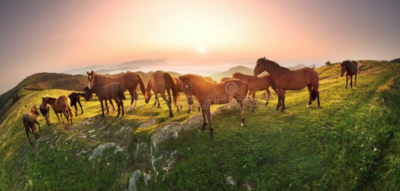 Το ηλιόλουστο πρωί και τα ελεύθερα άλογα βόσκουν στην κορυφή μεταξύ των άγριων Καρπάθιων panoramas της Ουκρανίας όλα το καλοκαίρι στοκ φωτογραφία με δικαίωμα ελεύθερης χρήσης