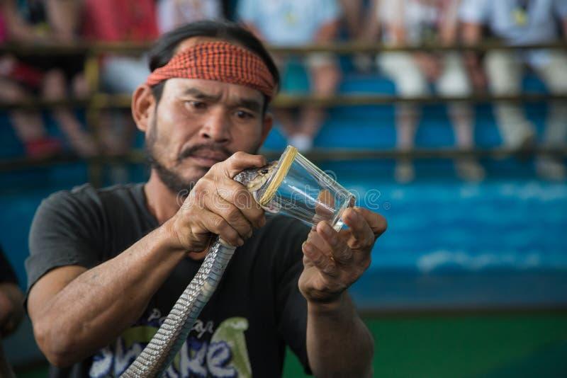 Το δηλητήριο που συλλέγει στο βασιλικό φίδι Cobra παρουσιάζει στοκ εικόνες