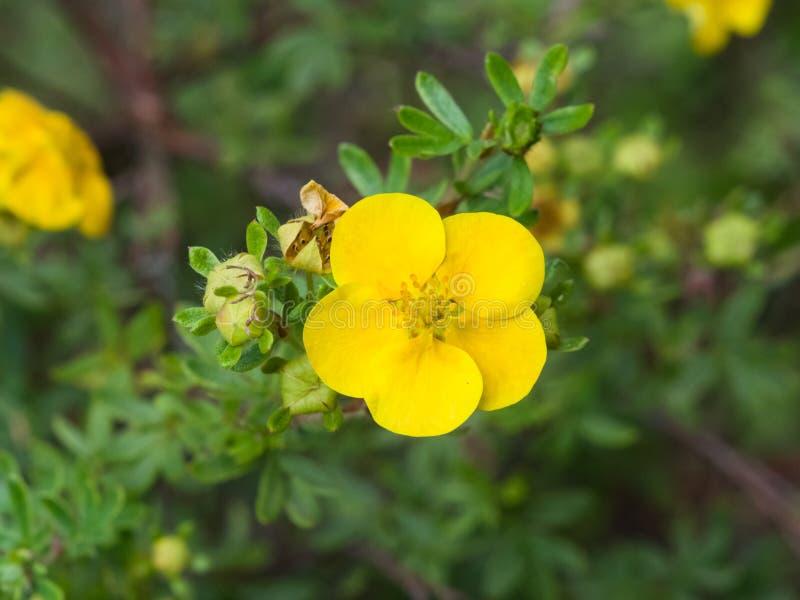 Το θαμνοειδές cinquefoil, Tundra αυξήθηκε, χρυσό hardhack, fruticosa Dasiphora, λουλούδι στο θάμνο, μακρο, εκλεκτική εστίαση στοκ φωτογραφία