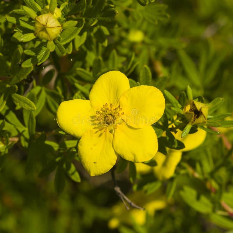 Το θαμνοειδές cinquefoil, Tundra αυξήθηκε, χρυσό hardhack, fruticosa Dasiphora, λουλούδι στο θάμνο, μακρο, εκλεκτική εστίαση στοκ εικόνες με δικαίωμα ελεύθερης χρήσης