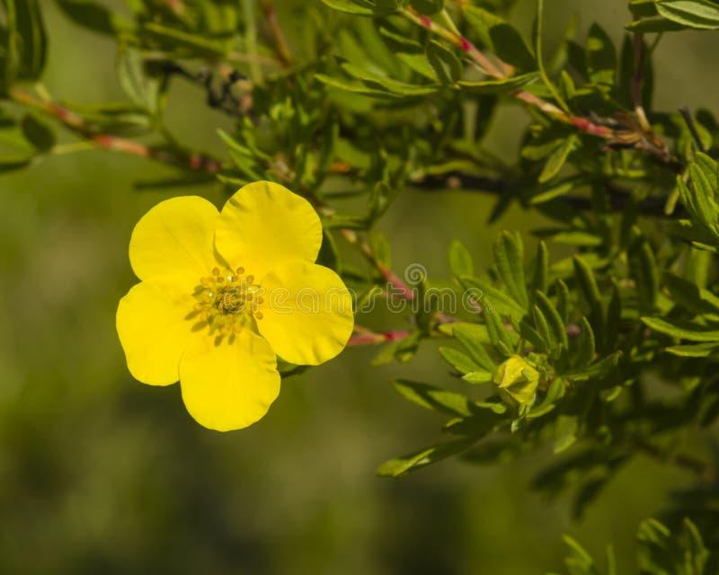 Το θαμνοειδές cinquefoil, Tundra αυξήθηκε, χρυσό hardhack, fruticosa Dasiphora, λουλούδι στο θάμνο, μακρο, εκλεκτική εστίαση στοκ φωτογραφίες