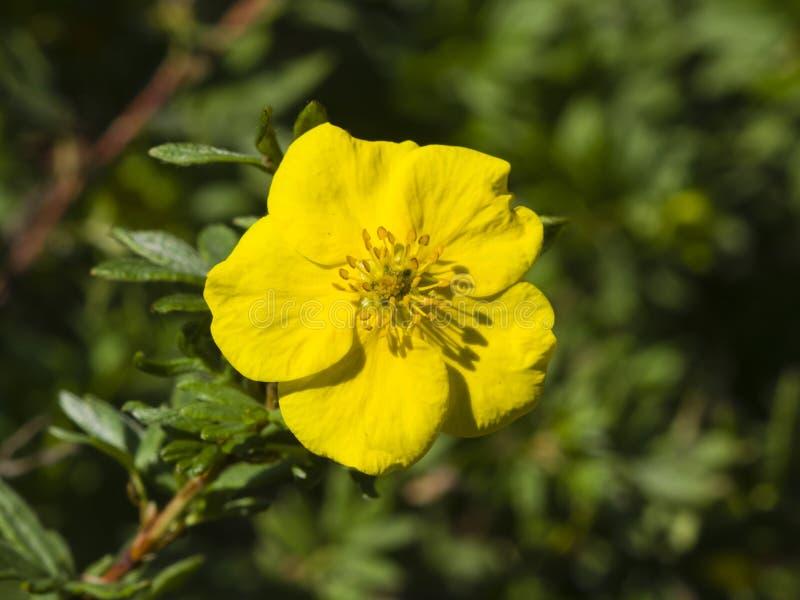 Το θαμνοειδές cinquefoil, Tundra αυξήθηκε, χρυσό hardhack, fruticosa Dasiphora, λουλούδι στο θάμνο, μακρο, εκλεκτική εστίαση στοκ φωτογραφίες με δικαίωμα ελεύθερης χρήσης