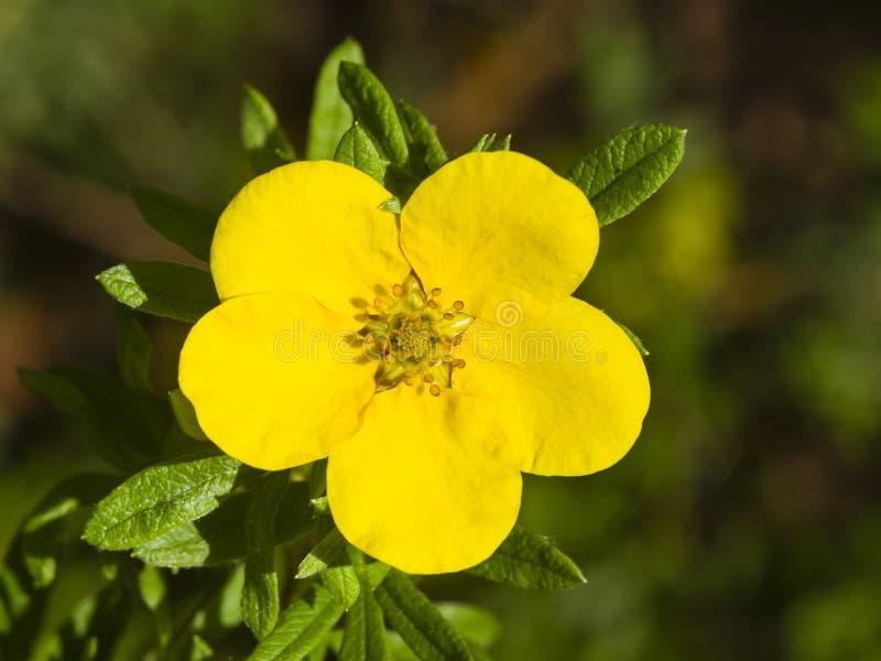 Το θαμνοειδές cinquefoil, Tundra αυξήθηκε, χρυσό hardhack, fruticosa Dasiphora, λουλούδι στο θάμνο, μακρο, εκλεκτική εστίαση στοκ εικόνα με δικαίωμα ελεύθερης χρήσης