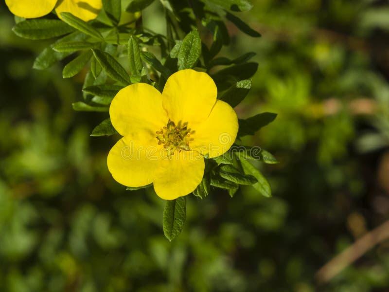 Το θαμνοειδές cinquefoil, Tundra αυξήθηκε, χρυσό hardhack, fruticosa Dasiphora, λουλούδι στο θάμνο, μακρο, εκλεκτική εστίαση στοκ εικόνα