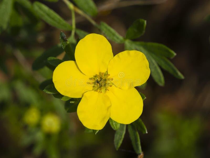Το θαμνοειδές cinquefoil, Tundra αυξήθηκε, χρυσό hardhack, fruticosa Dasiphora, λουλούδι στο θάμνο, μακρο, εκλεκτική εστίαση στοκ φωτογραφία με δικαίωμα ελεύθερης χρήσης