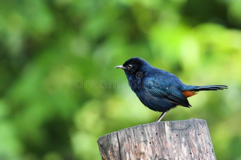 Το θαμπός-μπλε flycatcher Eumyias sordidus στοκ φωτογραφία