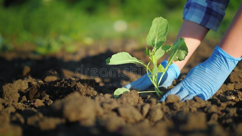 Το θηλυκό παραδίδει τα γάντια φυτεύει μικρές εγκαταστάσεις στον κήπο στοκ φωτογραφίες με δικαίωμα ελεύθερης χρήσης