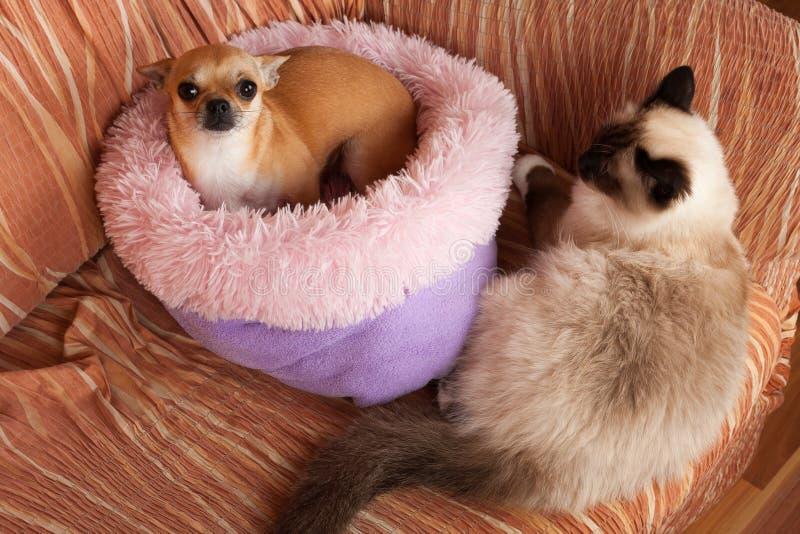 Το θηλυκό σκυλιών Chihuahua κανέλας και μια αρσενική γάτα Birman σημείου σφραγίδων βρίσκονται στον καναπέ στοκ εικόνα