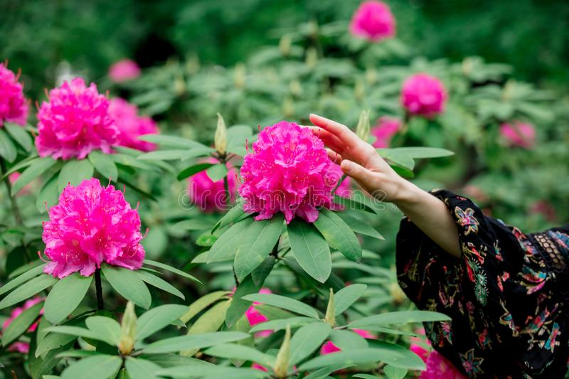 Το θηλυκό χέρι εκμετάλλευσης κοντά rhododendron στα λουλούδια στο α στοκ εικόνα με δικαίωμα ελεύθερης χρήσης