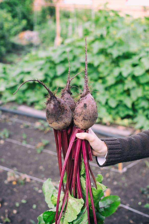 Το θηλυκό χέρι κρατά το διαθέσιμο κόκκινο τεύτλο με πράσινες κορυφές του λαχανικού στα πλαίσια ενός δυσδιάκριτου κήπου κουζινών στοκ φωτογραφίες με δικαίωμα ελεύθερης χρήσης