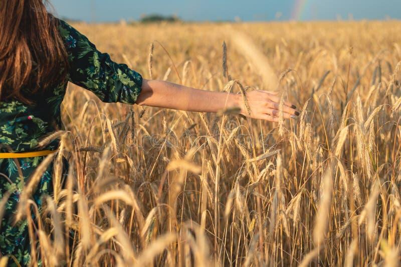 Το θηλυκό χέρι κρατά μια χρυσή ακίδα σε έναν τομέα σίτου στο ηλιοβασίλεμα στοκ εικόνες