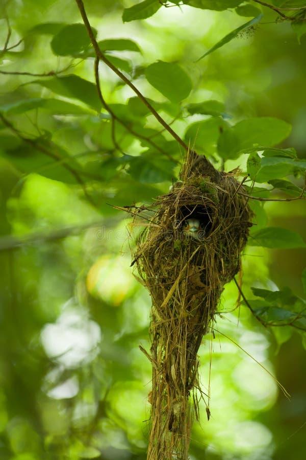 Το θηλυκό ασημένιος-Broadbill στο δέντρο στοκ φωτογραφία