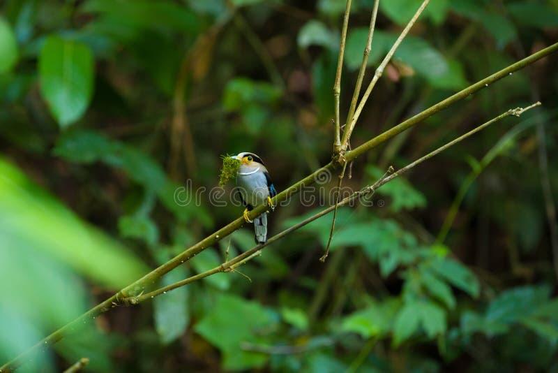 Το θηλυκό ασημένιος-Broadbill στο δέντρο στοκ φωτογραφίες