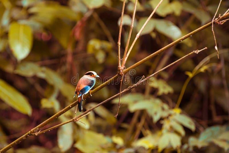 Το θηλυκό ασημένιος-Broadbill στο δέντρο στοκ εικόνες