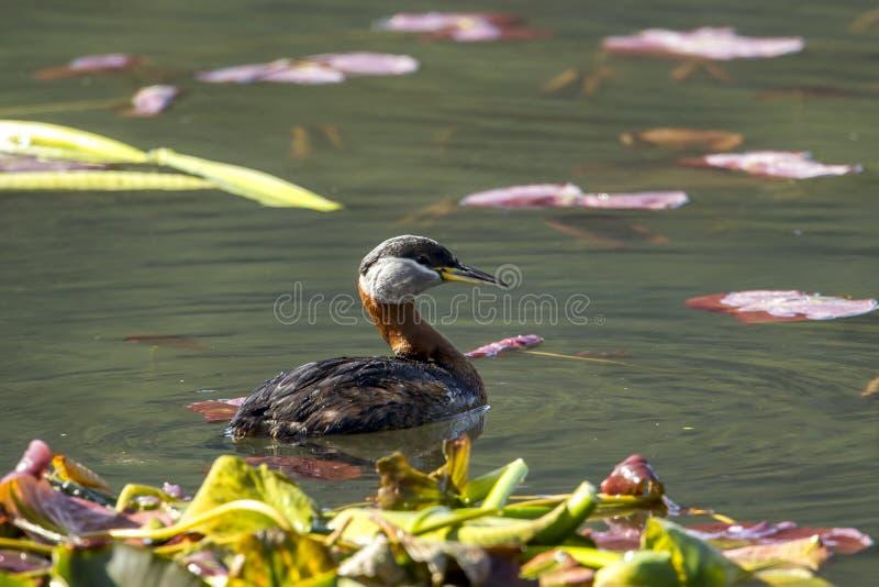 Το θηλυκό ερυθρόλαιμο grebe κολυμπά στη λίμνη στοκ φωτογραφίες