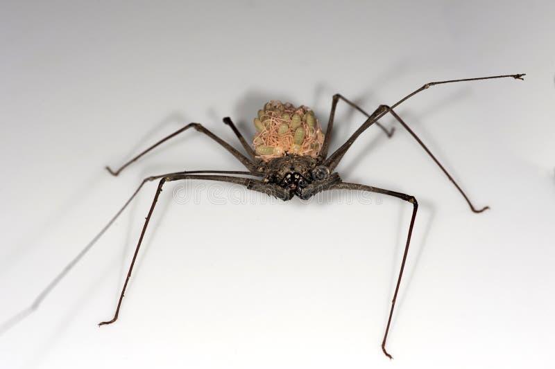 Το θηλυκό κτυπά την αράχνη στοκ φωτογραφία
