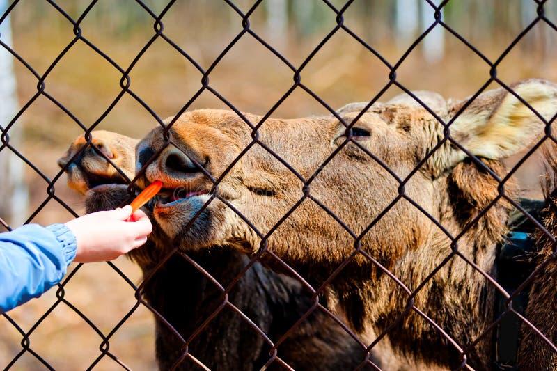 Το θηλυκό χέρι ταΐζει καρότα τα νέα αλκών στοκ φωτογραφίες με δικαίωμα ελεύθερης χρήσης