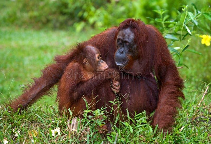 Το θηλυκό orangutan με ένα μωρό σε ένα αλσύλλιο της χλόης Ινδονησία Το νησί Kalimantan & x28 Borneo& x29  στοκ φωτογραφίες με δικαίωμα ελεύθερης χρήσης