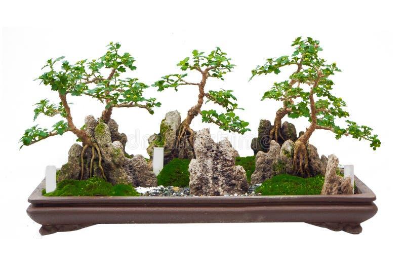 Το ιαπωνικό δέντρο μπονσάι στο άσπρο υπόβαθρο που απομονώνεται στοκ φωτογραφία
