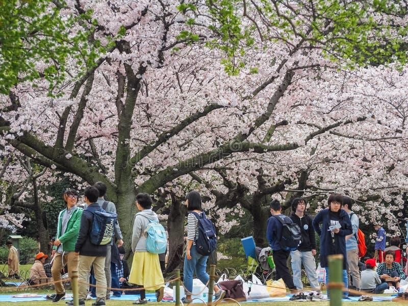 Το ιαπωνικό κεράσι απόλαυσης ανθίζει φεστιβάλ στο πάρκο στοκ εικόνα με δικαίωμα ελεύθερης χρήσης