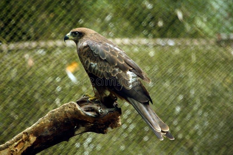 Το ινδικό αρπακτικό πουλί στοκ φωτογραφία με δικαίωμα ελεύθερης χρήσης