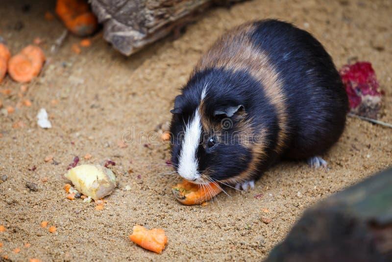 Το ινδικό χοιρίδιο τρώει το καρότο στοκ εικόνες