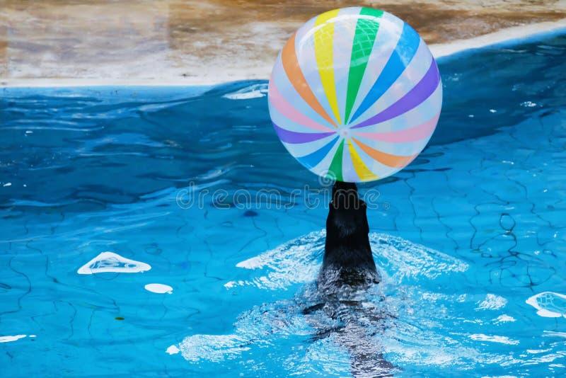 Το λιοντάρι θάλασσας παρουσιάζει στο ενυδρείο στοκ εικόνες