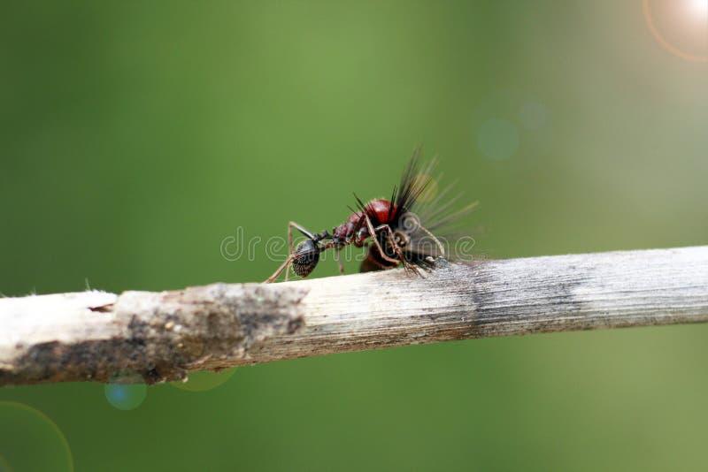Το ισχυρό και εργατικό μυρμήγκι φέρνει τους σπόρους στοκ εικόνα
