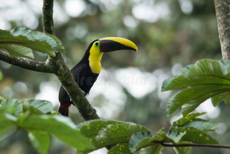 το κάστανο toucan στοκ φωτογραφίες
