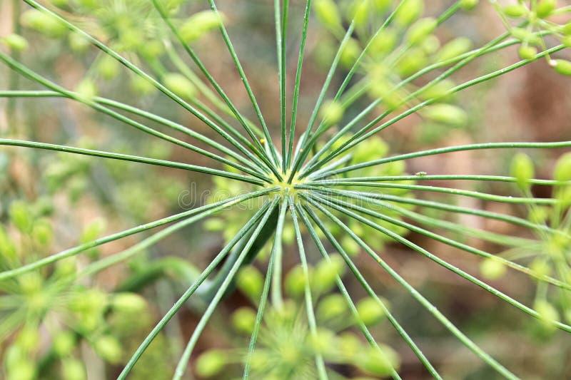 Το κέντρο ενός πράσινου άνηθου umbel συγκεντρώνεται στοκ εικόνες με δικαίωμα ελεύθερης χρήσης