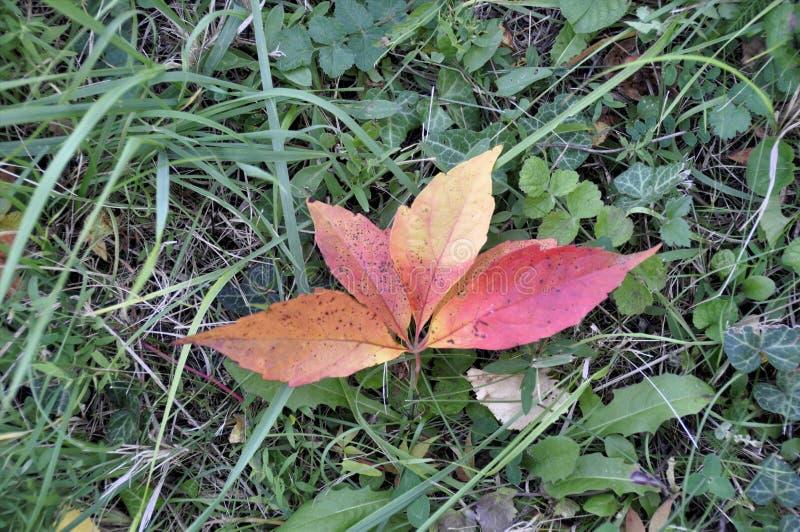 Το κίτρινος-κόκκινο φύλλο φθινοπώρου βρίσκεται στην πράσινη χλόη στοκ φωτογραφίες