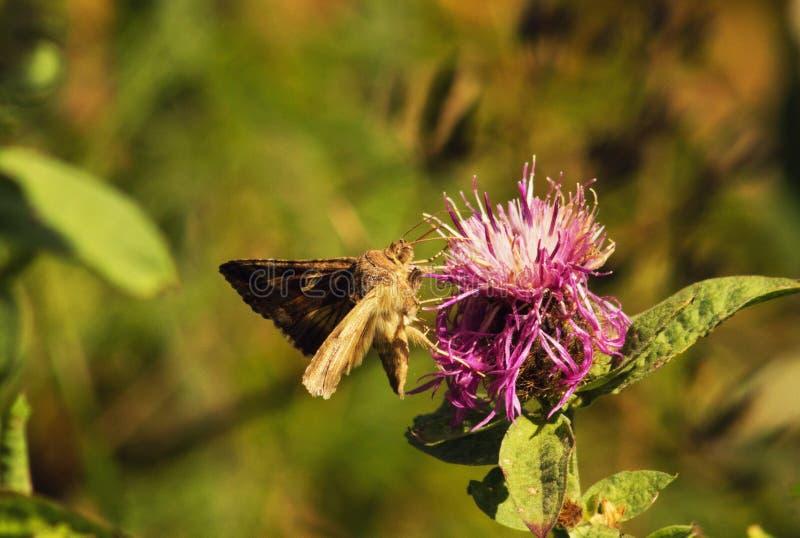 Το κίτρινο γάμμα Autographa πεταλούδων πέταξε στο λουλούδι τομέων στοκ εικόνες