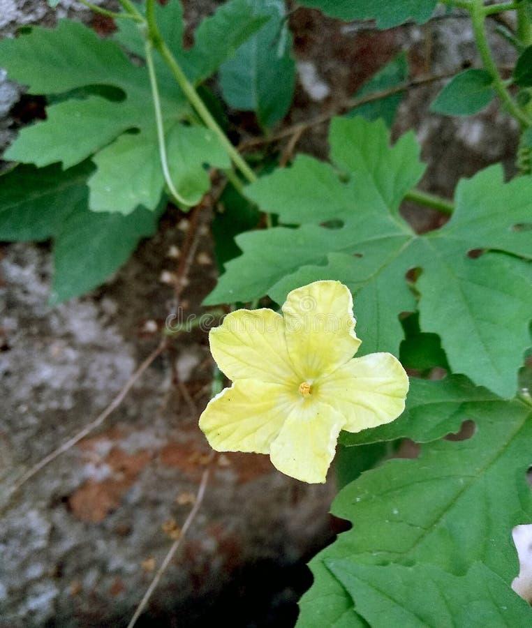 Το κίτρινο πικρό λουλούδι κολοκυθών με πράσινο βγάζει φύλλα στοκ εικόνες