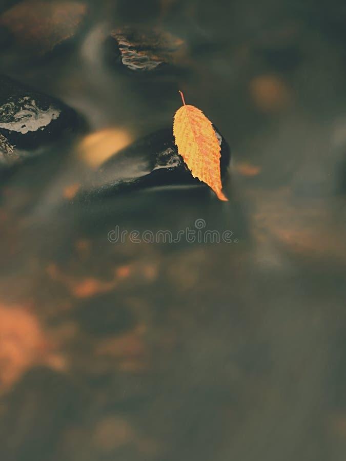 Το κίτρινο πορτοκαλί σάπιο παλαιό φύλλο οξιών στην πέτρα βασαλτών στο κρύο θόλωσε το νερό του ποταμού βουνών, πρώτο σύμβολο της π στοκ φωτογραφίες με δικαίωμα ελεύθερης χρήσης