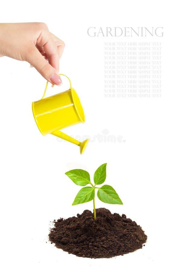 Το κίτρινο πότισμα μπορεί στο χέρι του ποτίζοντας τον πράσινο νεαρό βλαστό στοκ φωτογραφία με δικαίωμα ελεύθερης χρήσης