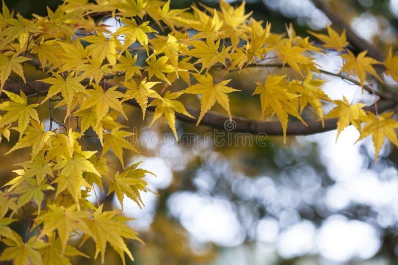 Το κίτρινο φθινόπωρο αφήνει την πολύ ρηχή εστίαση στοκ φωτογραφία με δικαίωμα ελεύθερης χρήσης