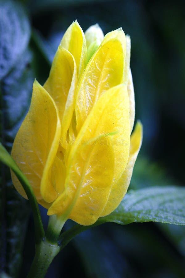 Το κίτρινο φρέσκο λουλούδι στοκ εικόνα