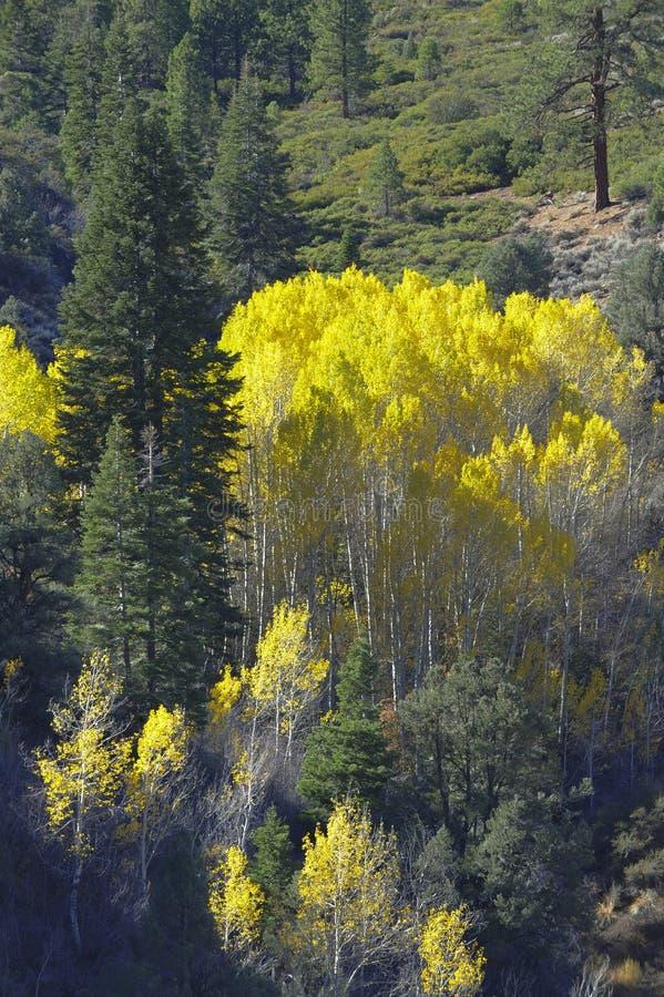 Το κίτρινο φύλλωμα πτώσης των δέντρων σημύδων αντιπαραβάλλει το βαθύ - πράσινο πεύκο στοκ εικόνα