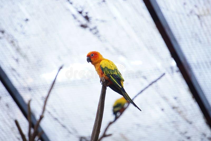 Το κίτρινο conure ήλιων πουλιών παπαγάλων στοκ εικόνα με δικαίωμα ελεύθερης χρήσης
