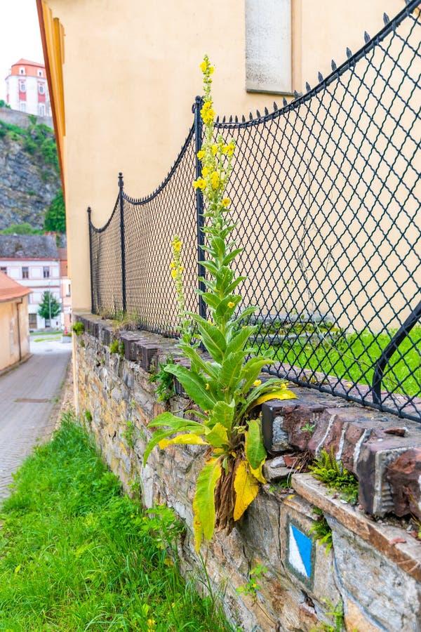 Το κίτρινο densiflorum Verbascum ονόματος λουλουδιών mullein λατινικό αυξάνεται στον τοίχο στην πόλη Λουλούδι στην άνθιση με το κ στοκ εικόνα