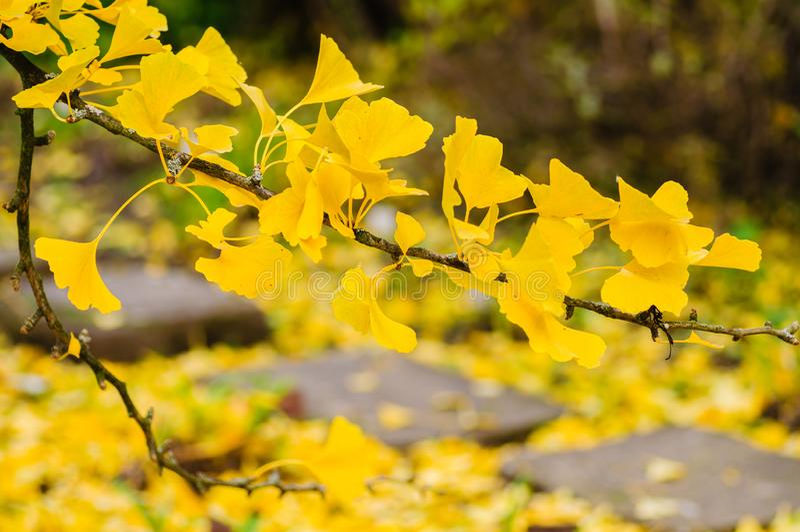 Το κίτρινο ginkgo φθινοπώρου βγάζει φύλλα Κλάδος στο δέντρο στοκ εικόνες
