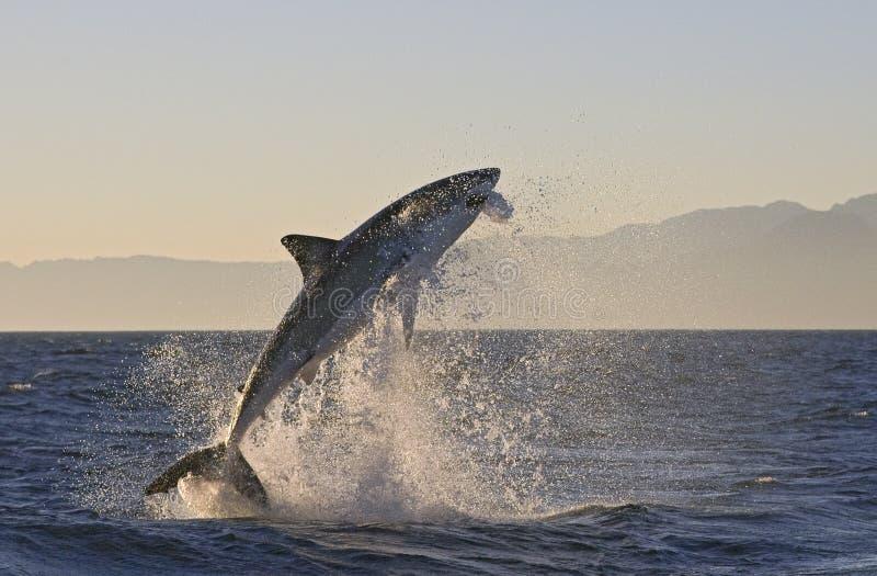 Το Καίηπ Τάουν, καρχαρίες, άλμα ευφορίας από το νερό, φαίνεται μεγάλο, το καθένα πρέπει να δει αυτήν την σκηνή μιά φορά στη ζωή σ στοκ εικόνες