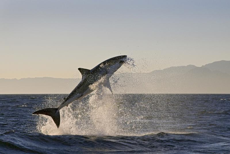 Το Καίηπ Τάουν, καρχαρίες, άλμα ευφορίας από το νερό, φαίνεται μεγάλο, το καθένα πρέπει να δει αυτήν την σκηνή μιά φορά στη ζωή σ στοκ εικόνες με δικαίωμα ελεύθερης χρήσης