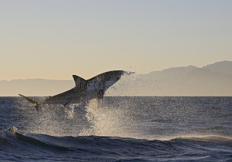 Το Καίηπ Τάουν, καρχαρίες, άλμα ευφορίας από το νερό, φαίνεται μεγάλο, το καθένα πρέπει να δει αυτήν την σκηνή μιά φορά στη ζωή σ στοκ φωτογραφίες