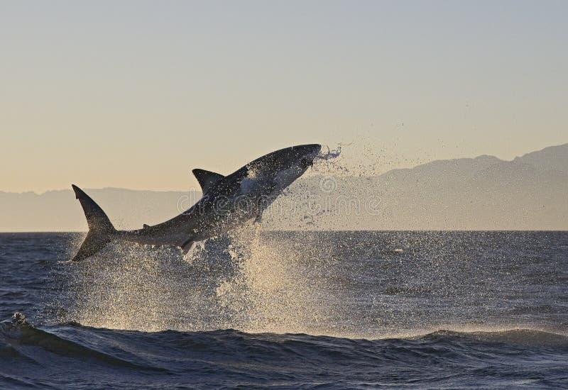 Το Καίηπ Τάουν, καρχαρίες, άλμα ευφορίας από το νερό, φαίνεται μεγάλο, το καθένα πρέπει να δει αυτήν την σκηνή μιά φορά στη ζωή σ στοκ εικόνα με δικαίωμα ελεύθερης χρήσης