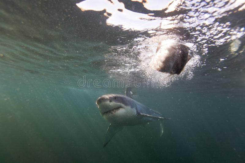 Το Καίηπ Τάουν, καρχαρίες, υποβρύχιες απόψεις, φαίνεται μεγάλο, το καθένα πρέπει να δει αυτήν την σκηνή μιά φορά στη ζωή σας στοκ φωτογραφία με δικαίωμα ελεύθερης χρήσης