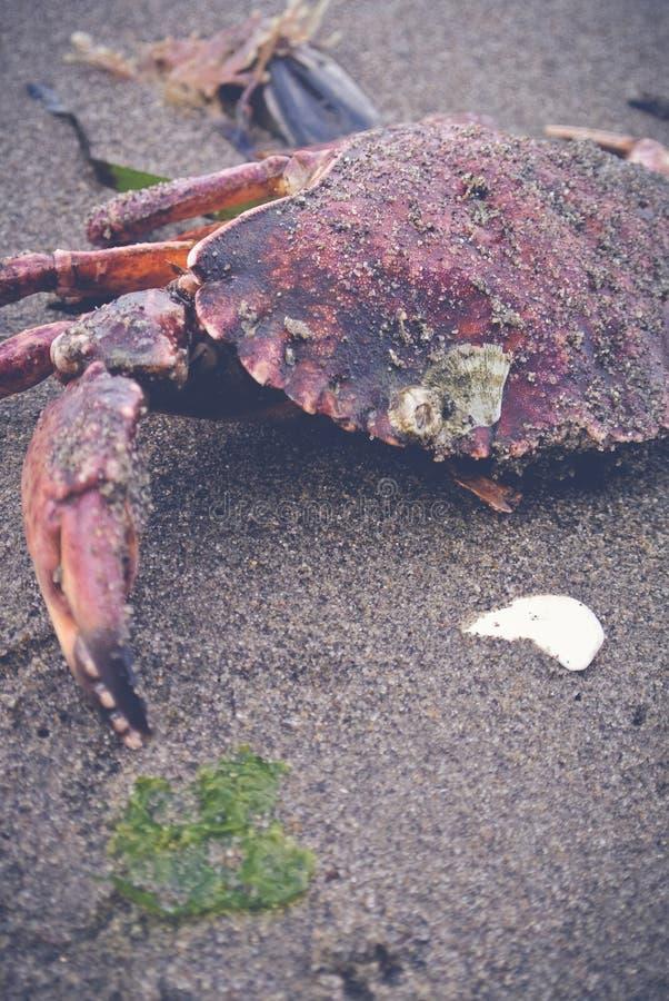 Το καβούρι παραμένει στην άμμο στοκ εικόνα