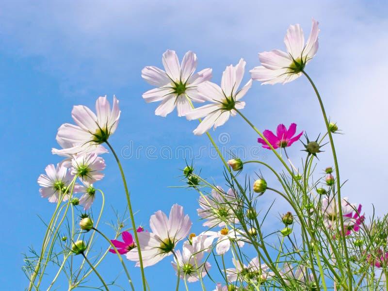 Το καλοκαίρι, λουλούδια λάμπει μέσω του φωτός του ήλιου, λουλούδια κόσμου στοκ εικόνες